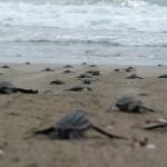 Ecovolontariat auprès des tortues marines