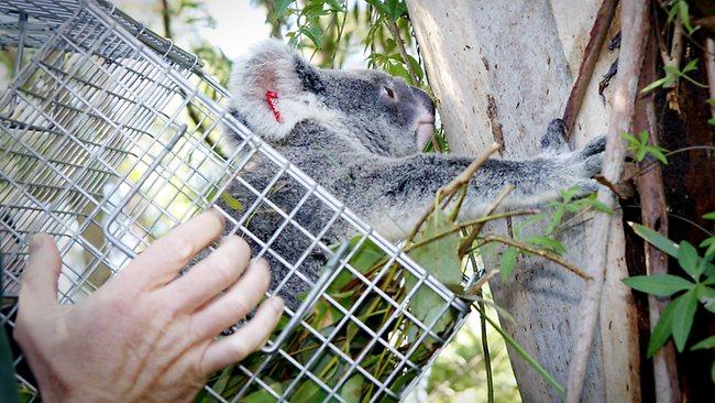283696-koala-rescue